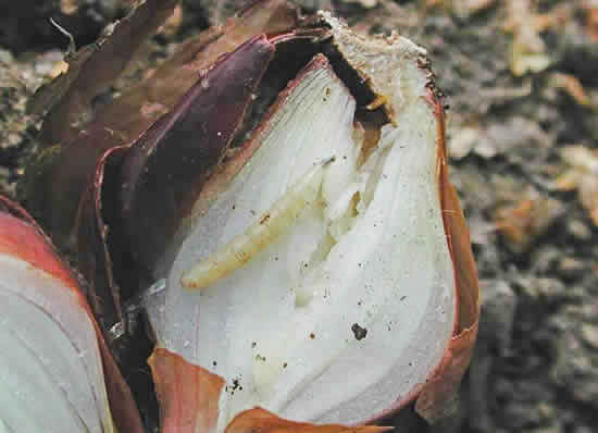 Личинка луковой мухи
