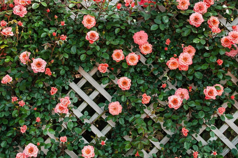 Можно ли плетистую розу выращивать как кустовую