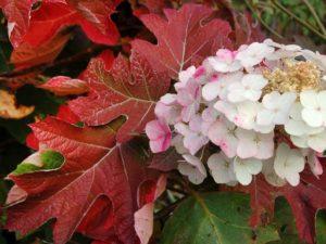 Дуболистная гортензия осенью