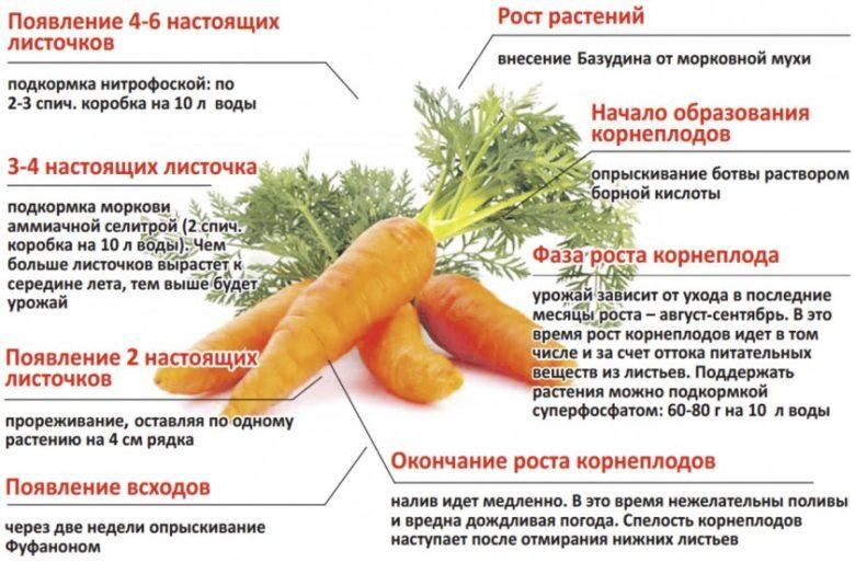 Фазы роста моркови
