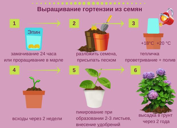 Как вырастить гортензию из семян