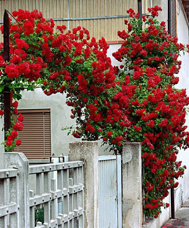 Плетистая роза — рамблер