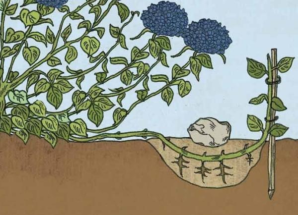 Размножение гортензии отводками