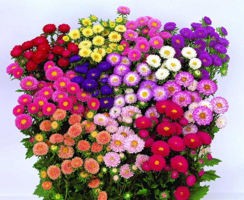 Разнообразие цветов и форм однолетних астр