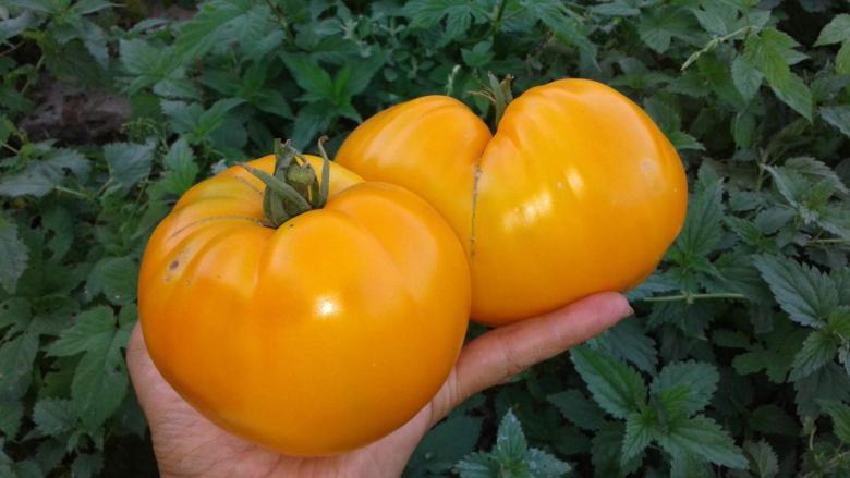 Сорт томатов Бычье сердце, желтые