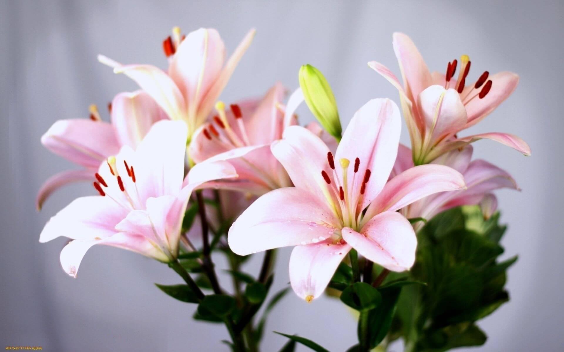 Лилия белоснежная описание посадка и уход в открытом грунте размножение