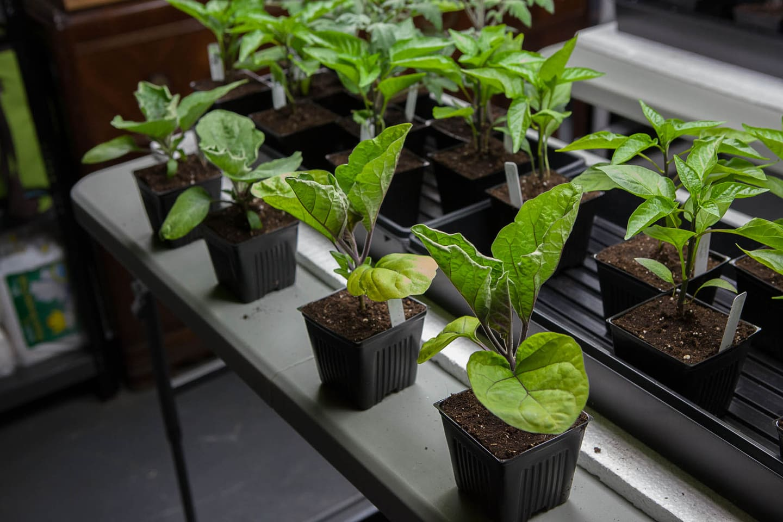 Как сажать баклажаны семенами в открытый грунт