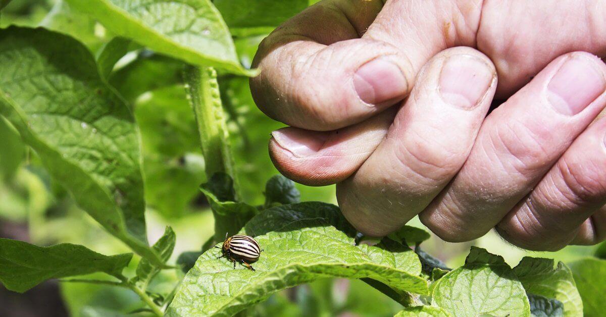 Чем обработать баклажаны от колорадского жука в период плодоношения