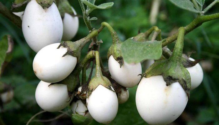 Белые баклажанчики