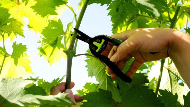 Чеканка побегов винограда
