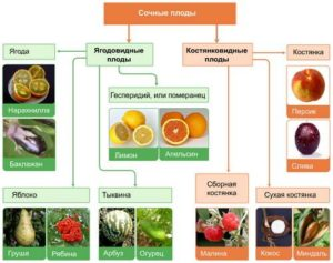 Описание сочных плодов в биологии. Баклажан — яговидный плод типа ягода
