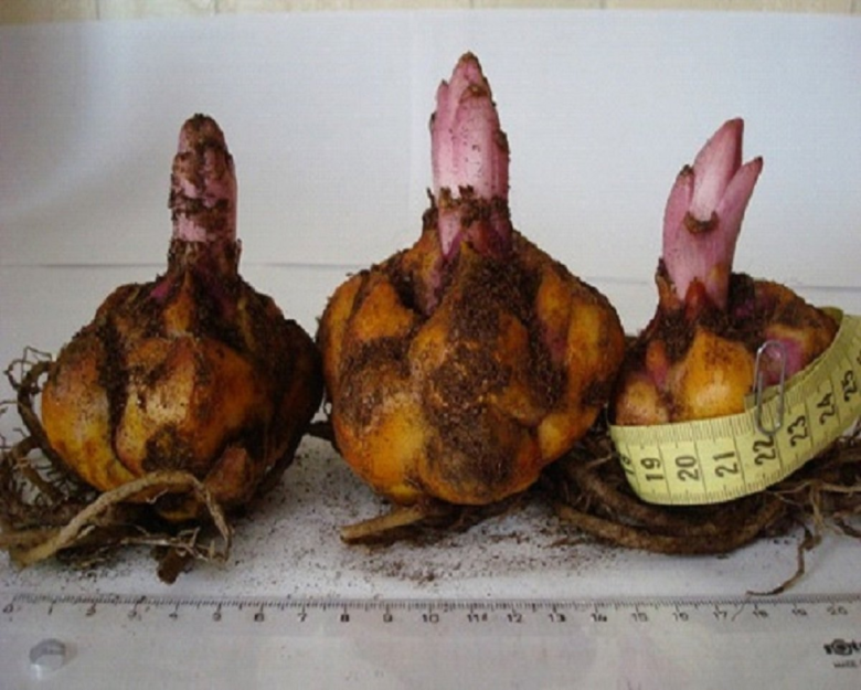 Размеры луковиц лилий