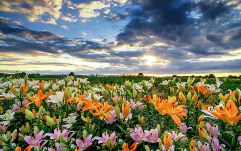 Лилии в поле