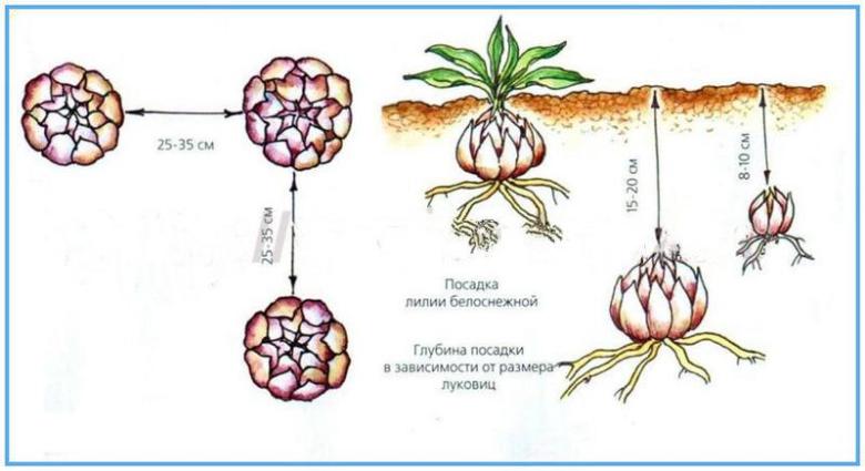 Схема и глубина посадки луковиц лилии