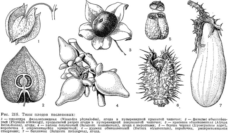 Типы плодов пасленовых