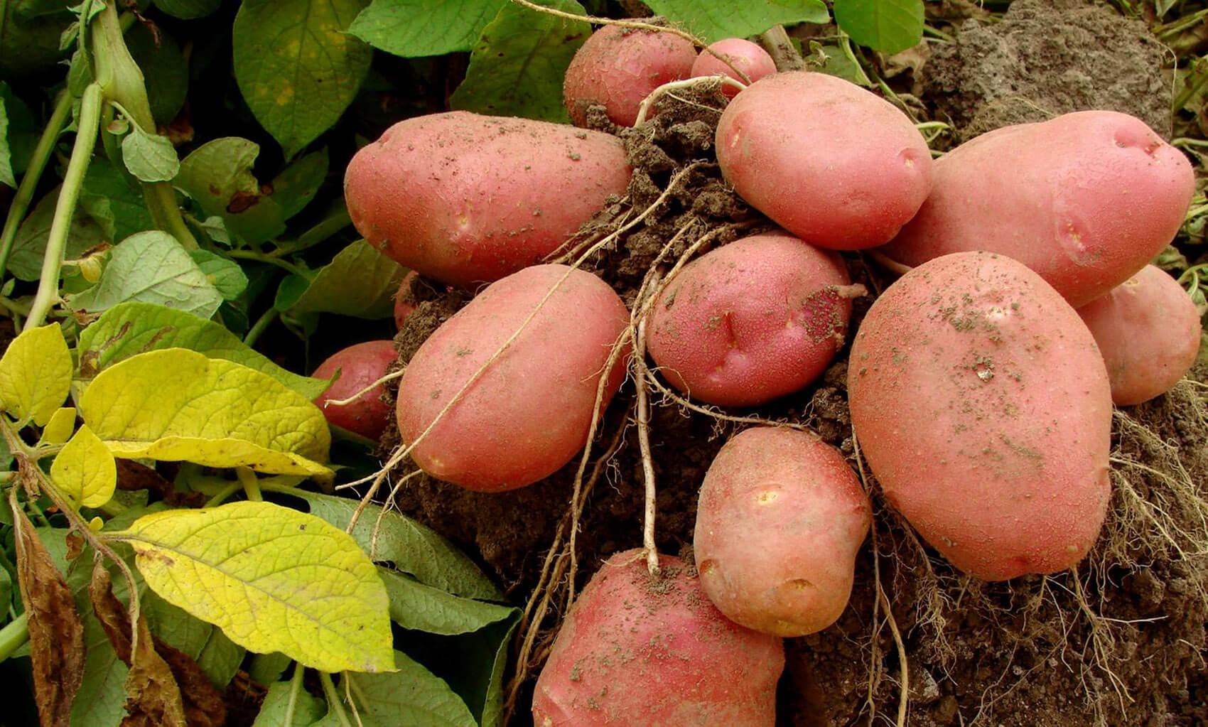 Картофель особенности строения корневой системы