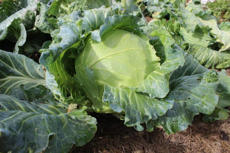 Сорта капусты огородной