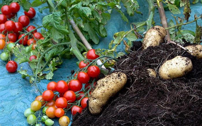 История картофеля - Сайт о картофеле