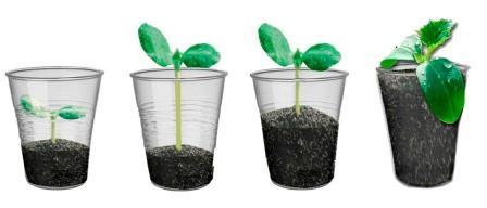 Схема добавления грунта по мере роста рассады