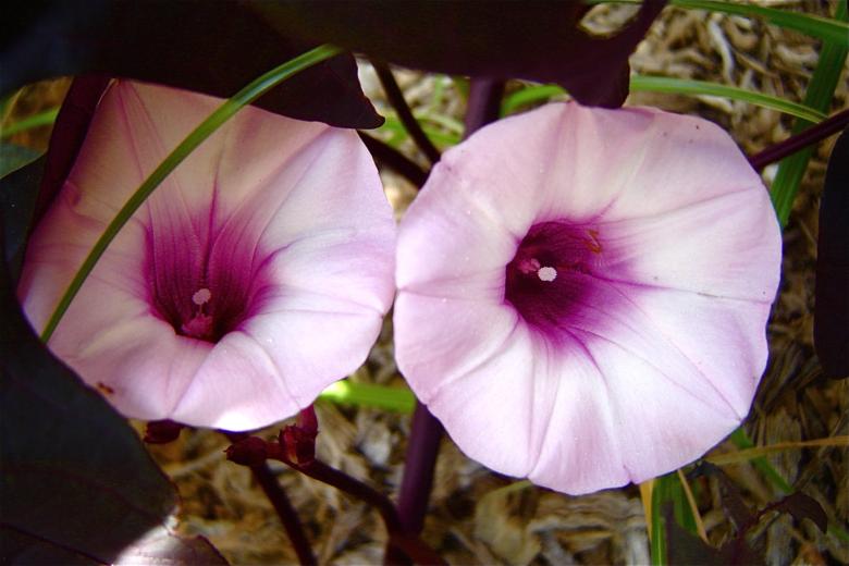 Цветок темнолистной ипомеи батат