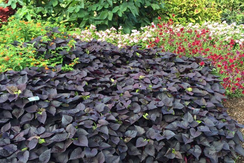 Ипомея батат в саду