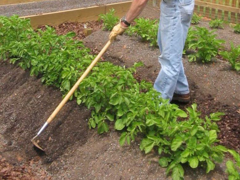 Окучивание тяпкой - один из старейших способов ухода за картофелем
