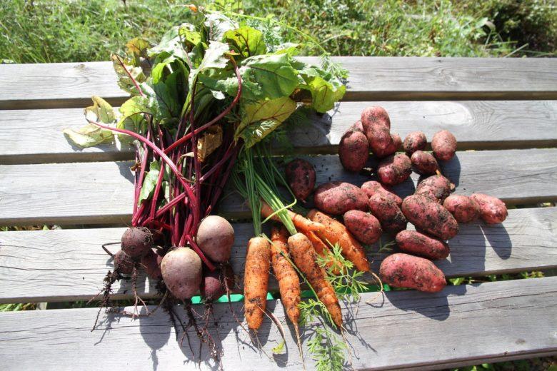 Морковь и свёкла - подходящие предшественники картофеля