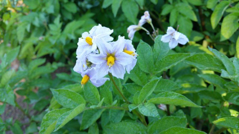 При цветении картофель окучивать нельзя