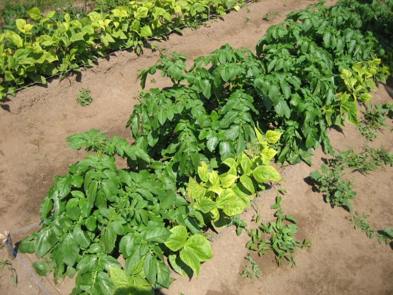 Совместная посадка картофеля и фасоли