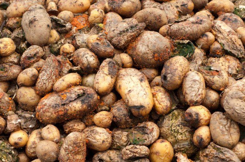 Так выглядит гнилой картофель во время сбора урожая