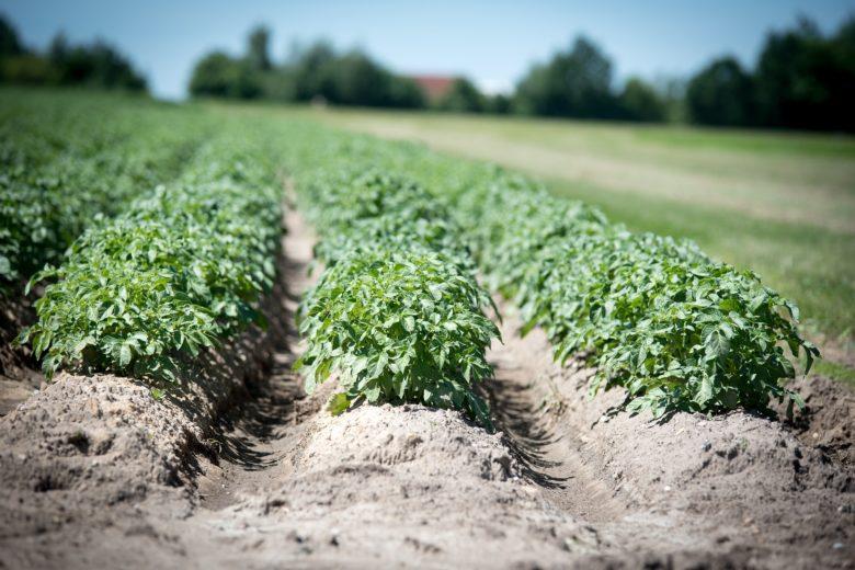 Традиционный способ - посадка и окучивание картофеля в рядах