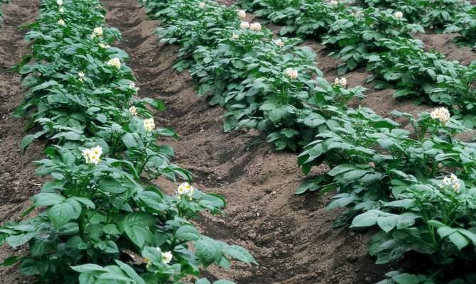 Ухоженные картофельные грядки