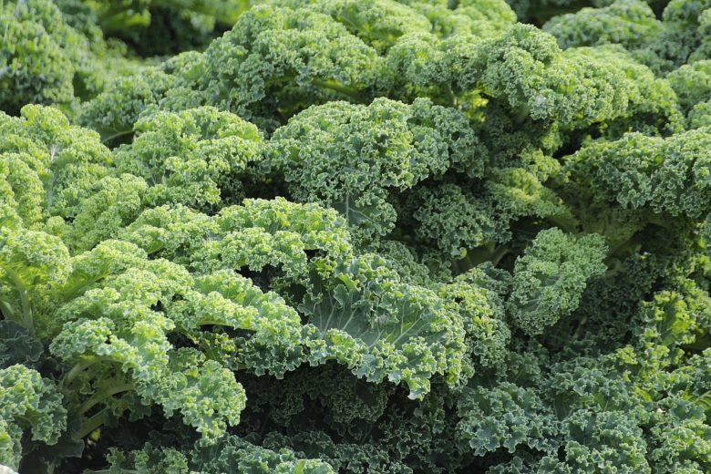 Что представляет собой листовая капуста кале