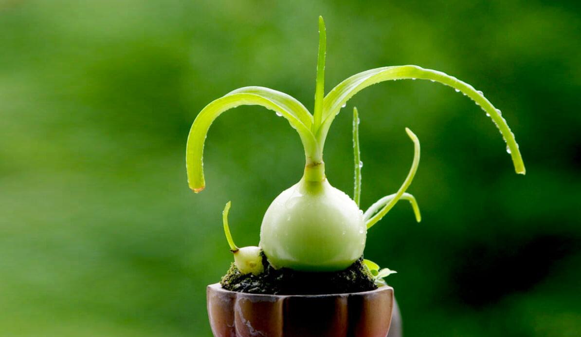 Индийский лук лечебные свойства и применение отзывы