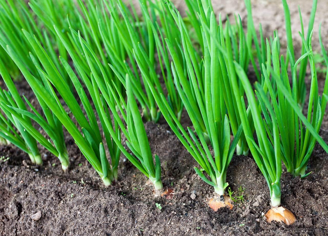 Посадить лук на зелень дома в землю