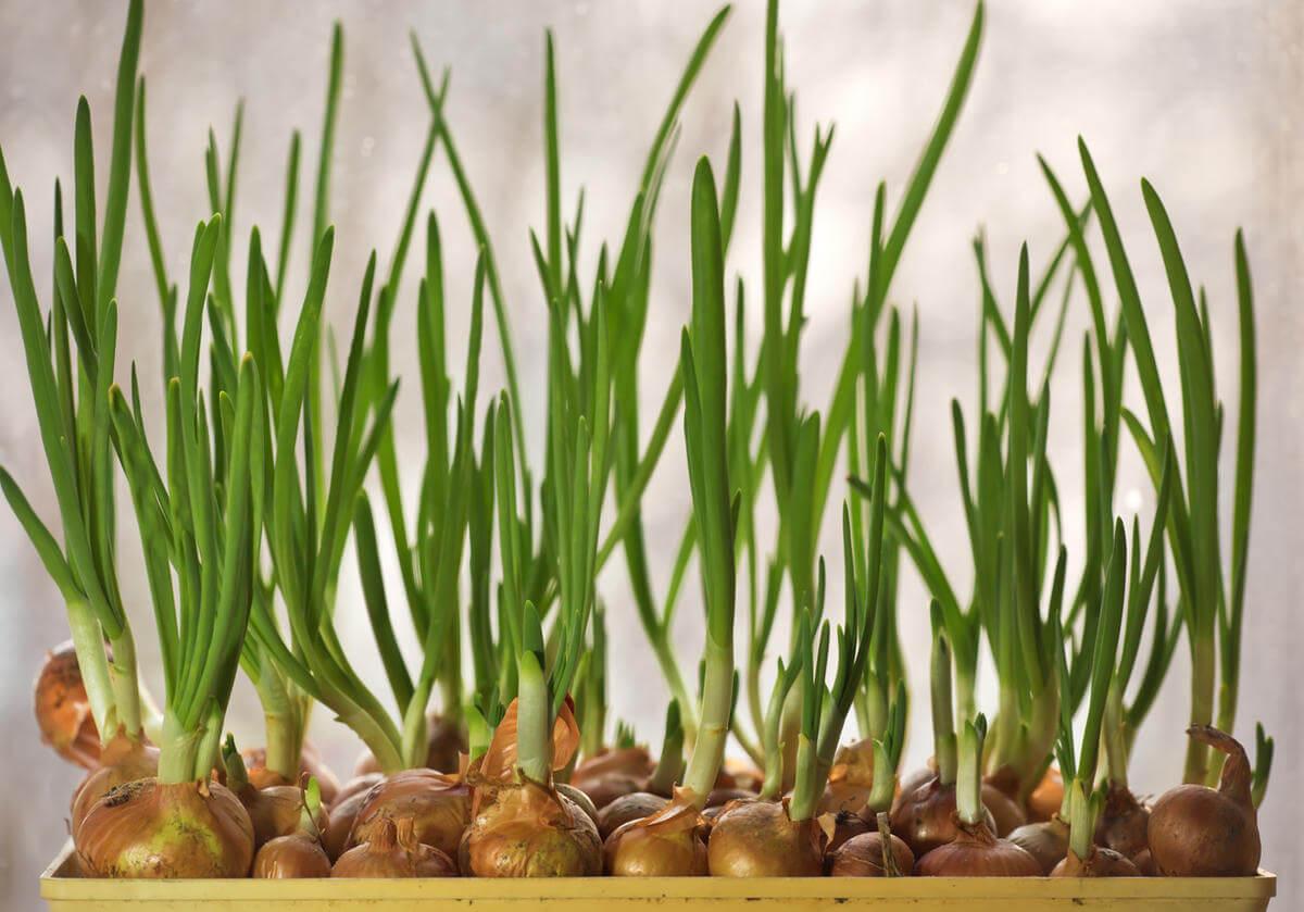 Как вырастить лук в воде на подоконнике: как посадить, как прорастить, на перо, в банке