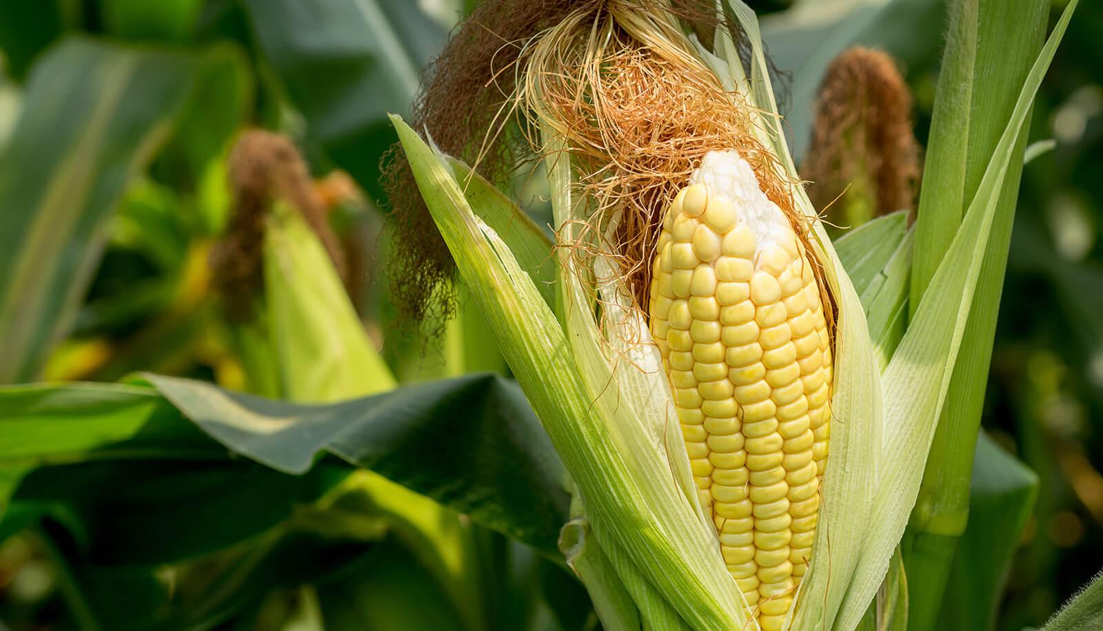 Как вырастить сладкую кукурузу