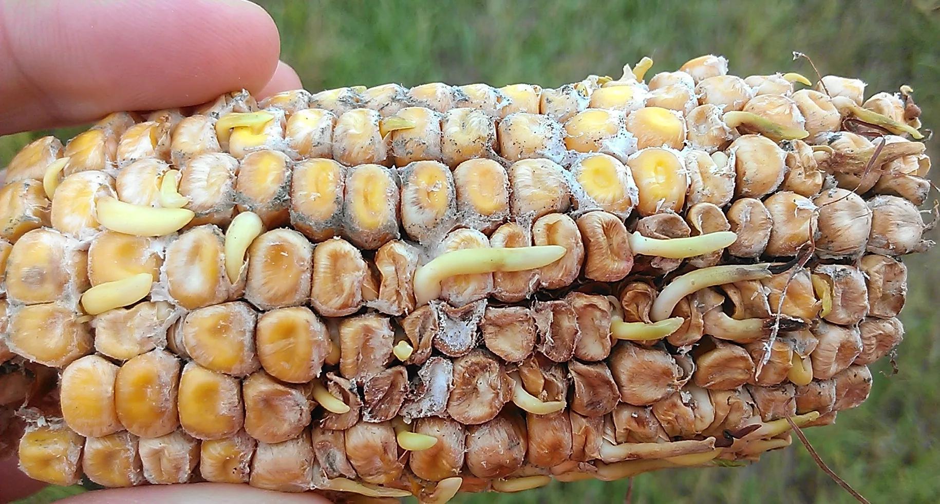 Диплодиоз кукурузы