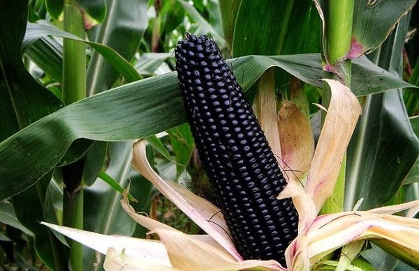 Кукуруза с черными зернышками