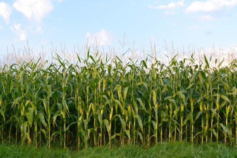 Кусты кукурузы