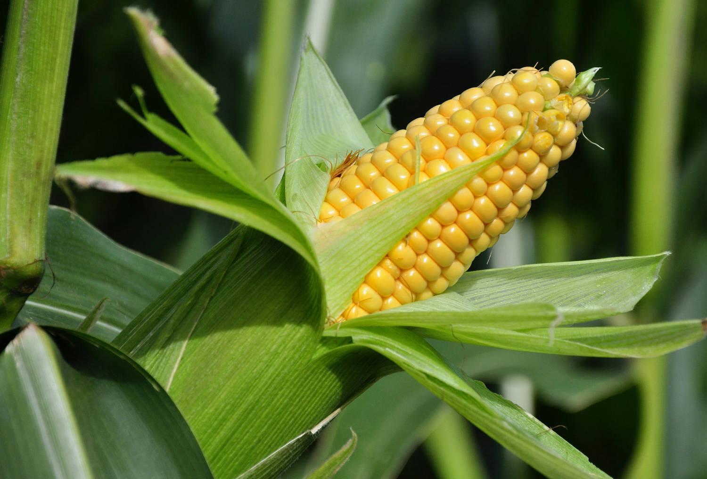 Маис, Початок, Китка, Пшено турецкое — все это названия любимой кукурузы