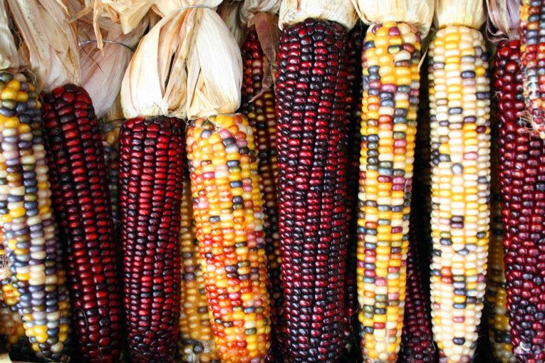 Разноцветные сорта кукурузы