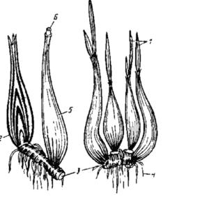 Строение корневой системы дудчатого лука