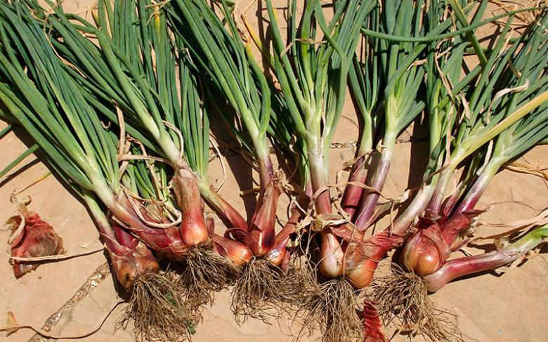из лука севка вырастает луковица