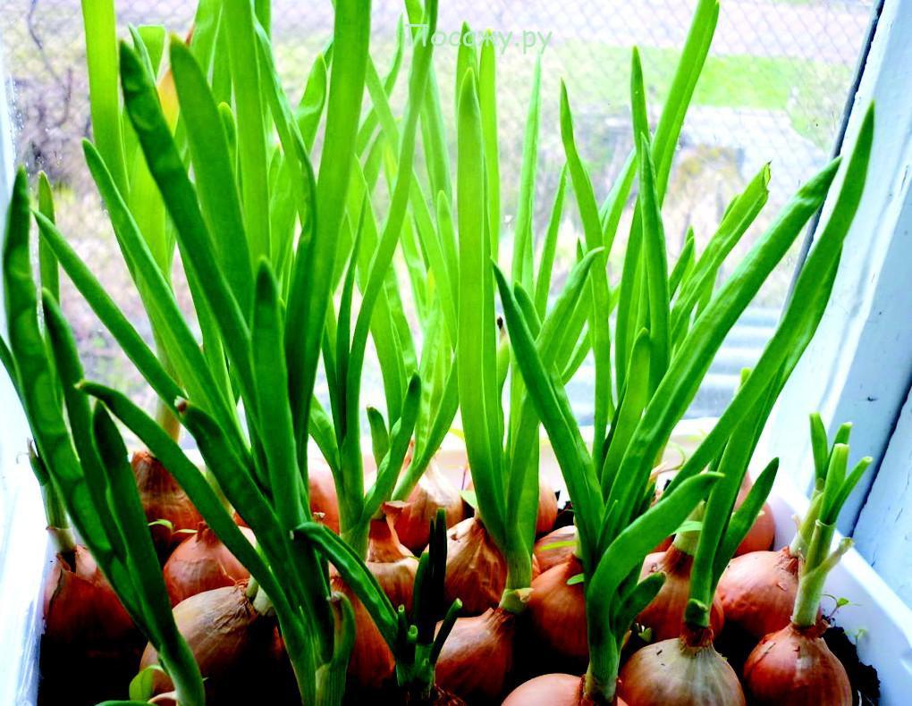 Выращивание лука в почве