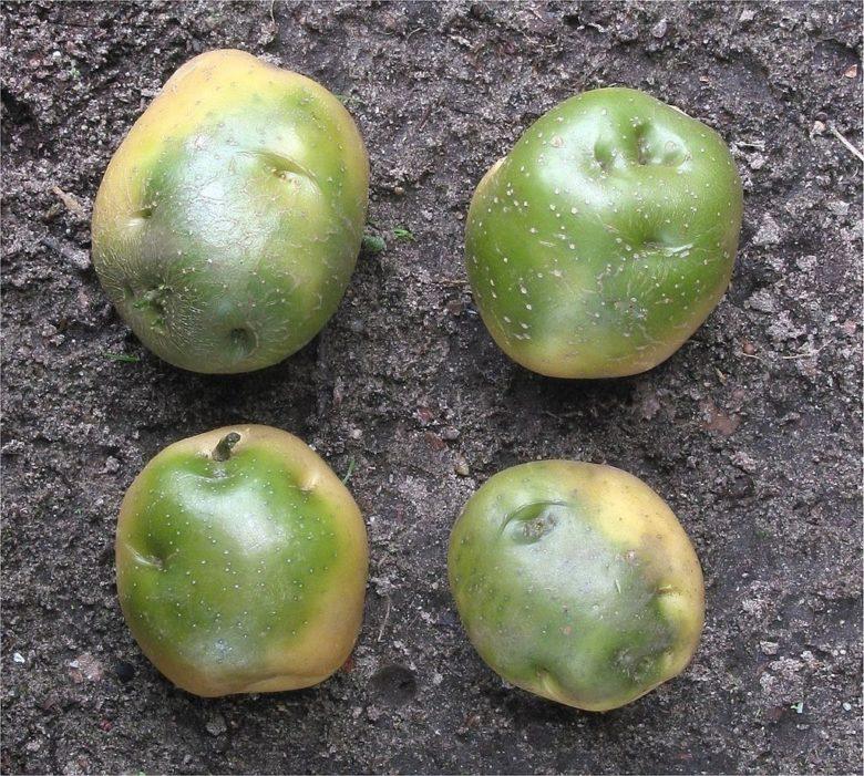 Зеленая картошка содержит соланин