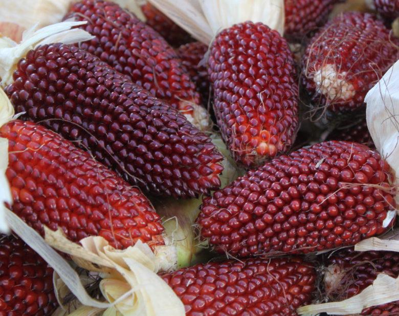 Земляничная (клубничная) красная кукуруза