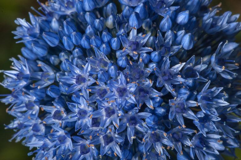 Лук голубой описание выращивание и размножение