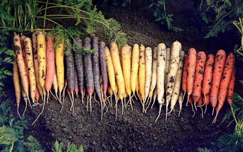 Цветные сорта моркови