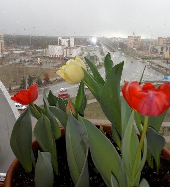 Горшок с цветущими тюльпанами на подоконнике